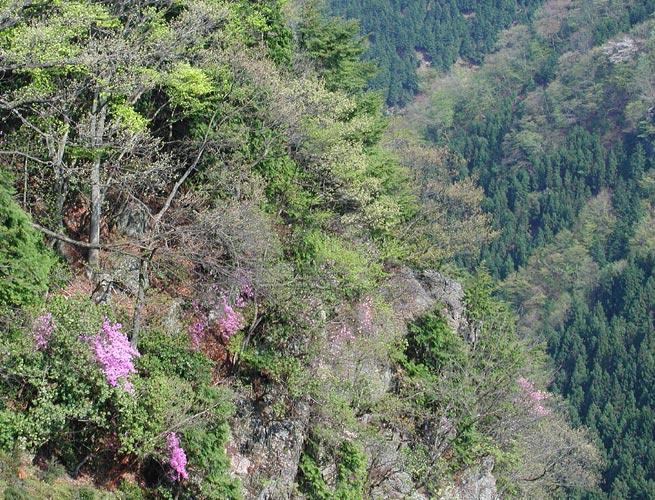 山の斜面には山桜が咲いていた